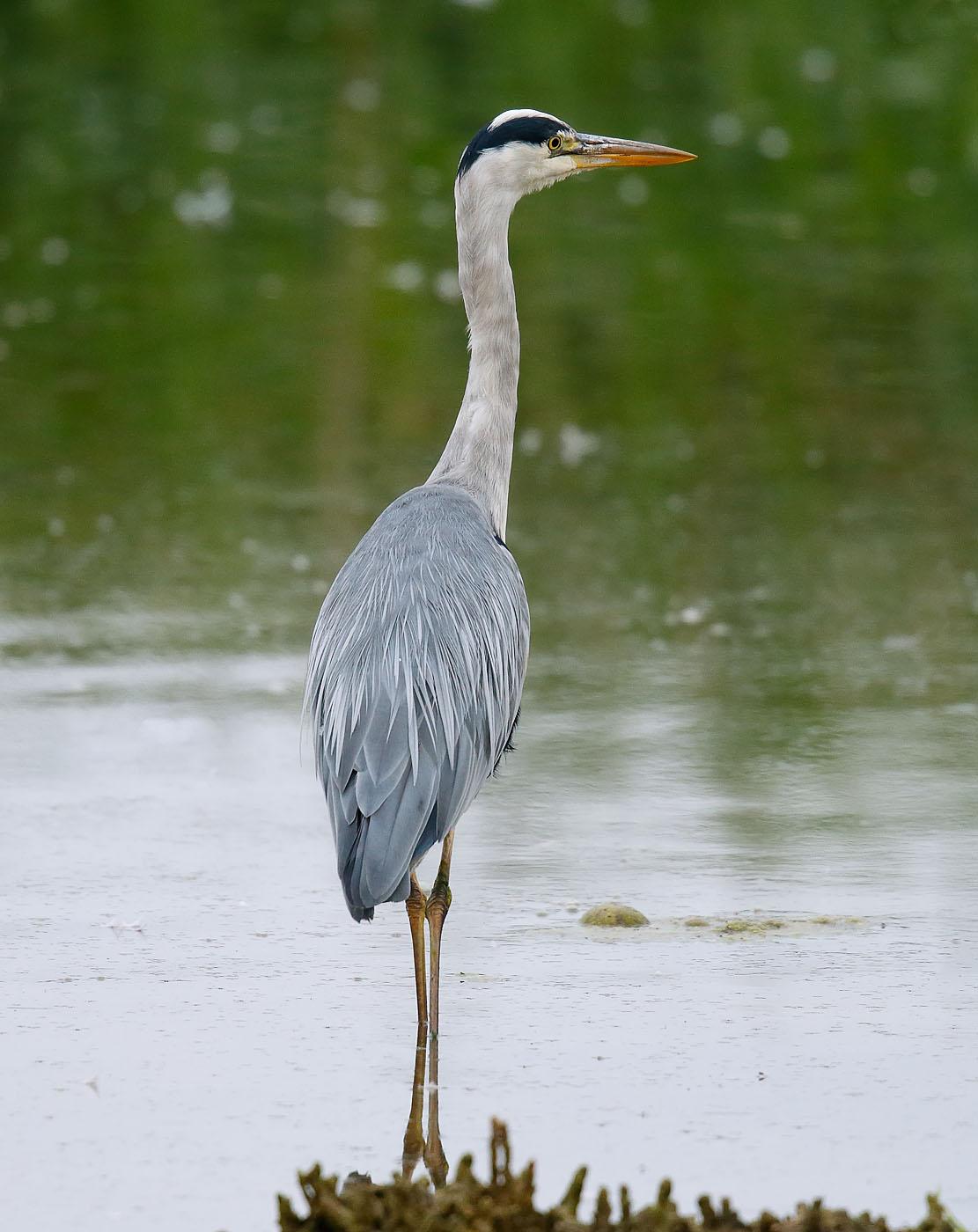 Grey Heron_J4X4999