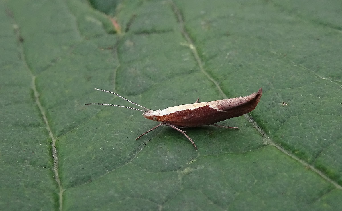 Honeysuckle Moth DSC00969