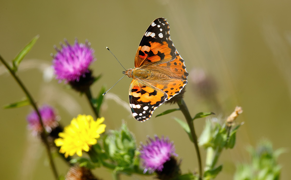 Painted Lady_J4X4790