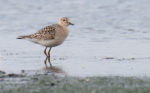 Another North American Wader