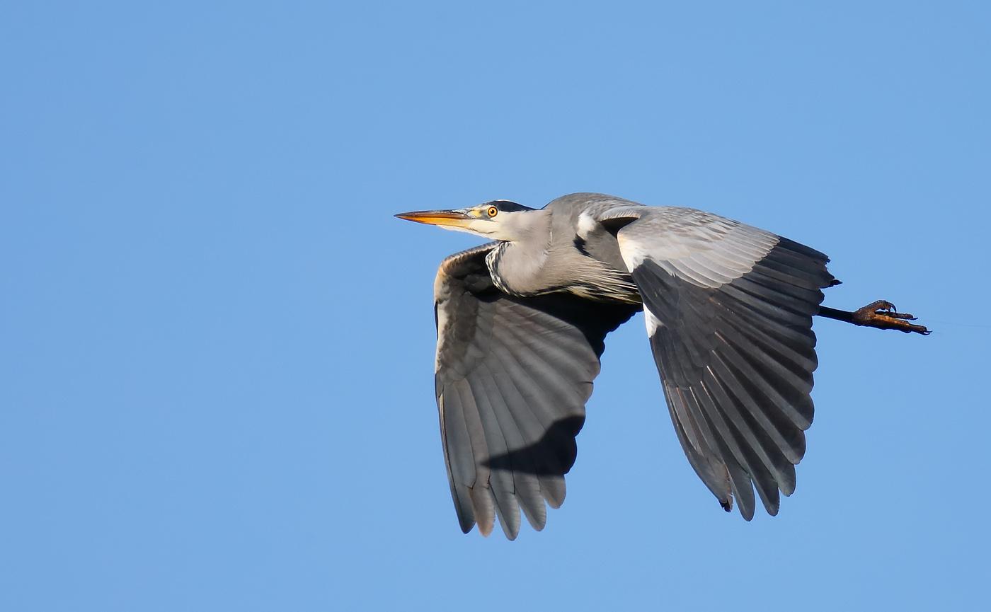 grey-heron_j4x9128