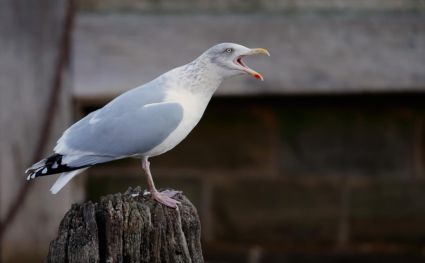 herring-gull_j4x0014