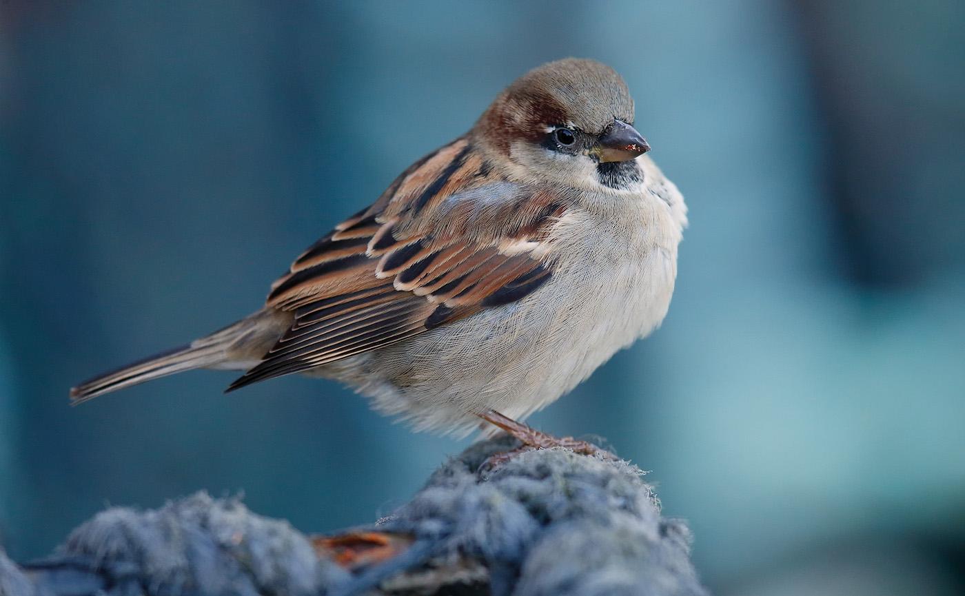 house-sparrow_j4x0029