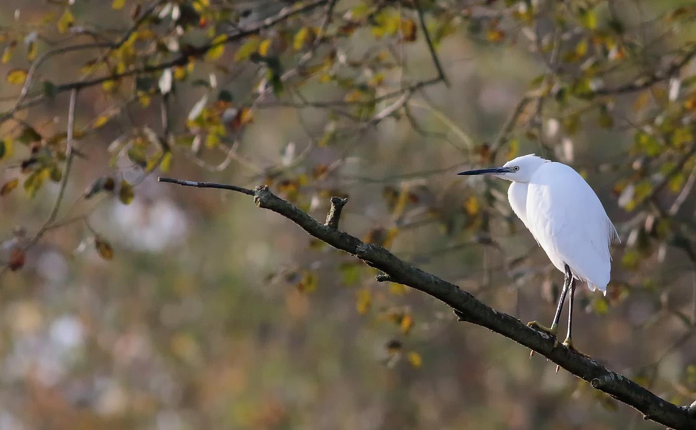 little-egret_-2a-s1q7084