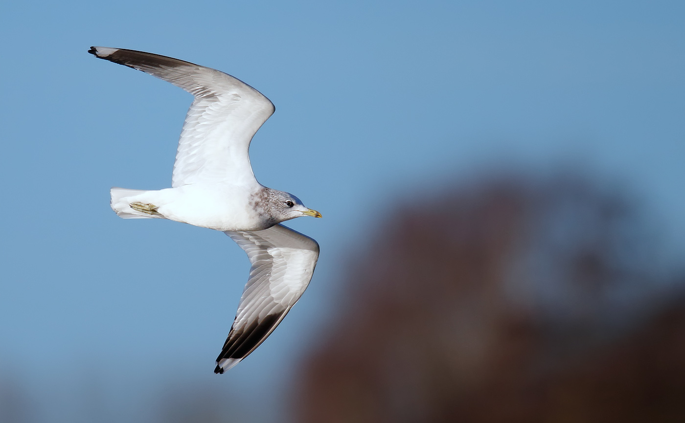 common-gull-_j4x0215