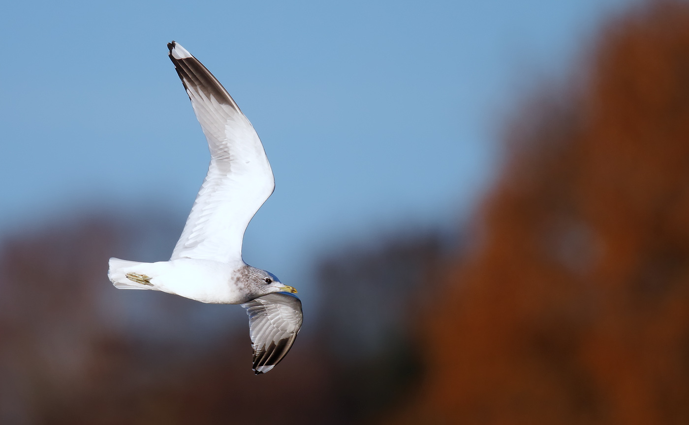 common-gull-_j4x0216