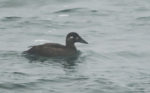 Another Rare Sea Duck in the Midlands