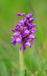 Green-winged Orchid - a plant tick