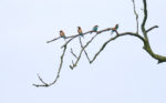 Bee-eaters set-up residence in Nottinghamshire