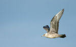 A New Golfing Term - A Skua!!