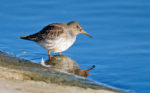 Moulting Red-necked Phalarope