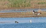 Waders at Frampton