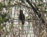 Rare Warbler visits local Reserve