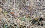 First Rufous Bush Chat for 40 years