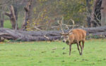 The Autumn Red Deer Rut