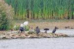 Ibis and Egrets at Rutland Water