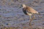 A White-tailed Lapwing at Blacktoft Sands